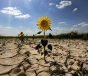 Sunflowers growing in a dry field